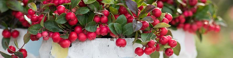 Tuinplant van de Maand november: Bergthee