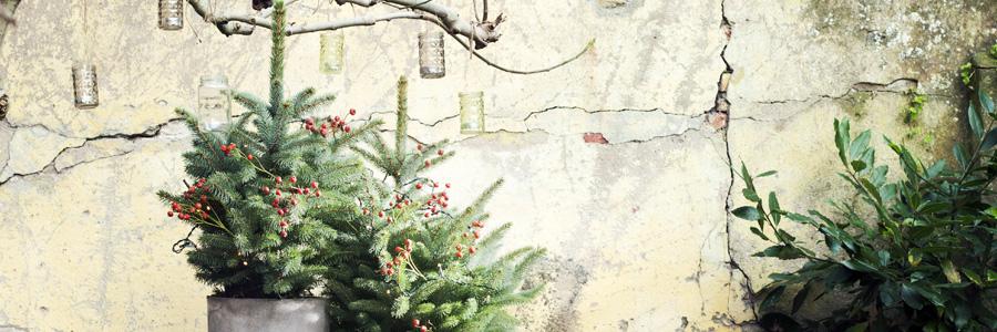 Tuinplant van de Maand december: Spar