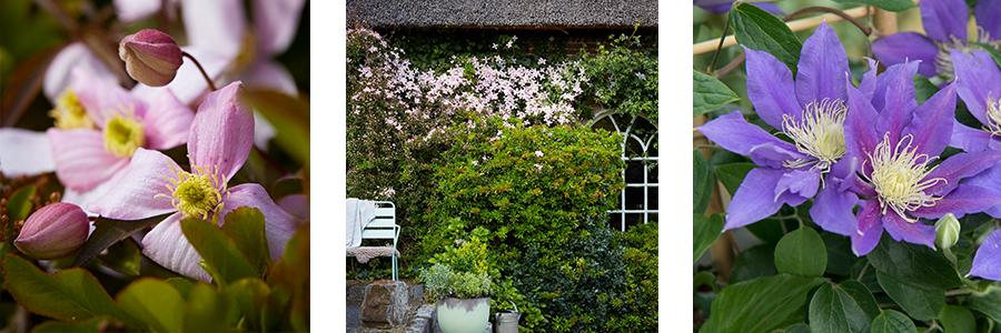 Tuinplant van de Maand april: Clematis